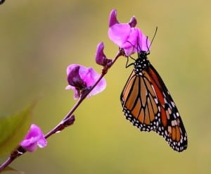 monarch-butterfly-hanging-purple-flower-image