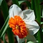 orange-white-daffodil-image