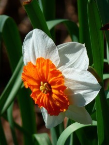 orange-white-daffodil-image