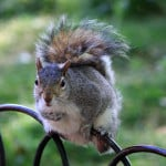 squirrel-on-wrought-iron-fence-image