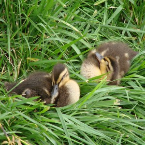 cute-baby-ducks-grass-image