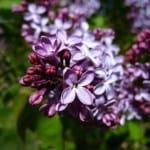 bouquet-purple-flowers-lavender-image