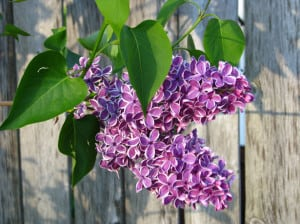 lovely-purple-hanging-flowers-image
