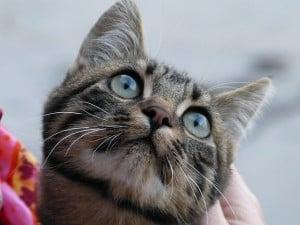 sweet-cat-blue-eyes-gray-image