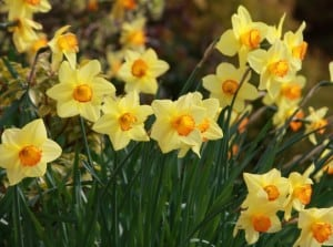 gorgeous-daffodils-image