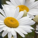 daisy-flowers-simple-image