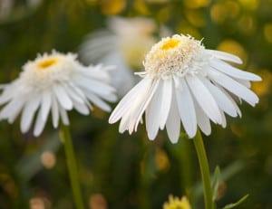 flowers-yellow-white-skirts-image