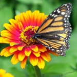 monarch-butterfly-bright-yellow-red-orange-image