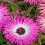 pink-flowers-burst-image