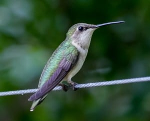 ruby-throated-hummingbird-image