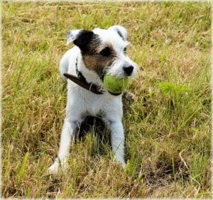cute-terrier-with-yellow-ball-image
