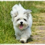 tongue-out-pup-running-image
