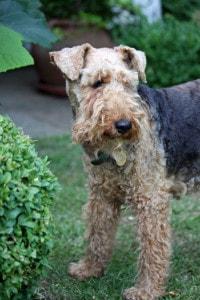 brown-black-terrier-image