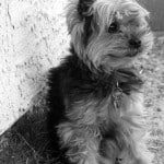 tiny-yorkie-dog-black-white-image
