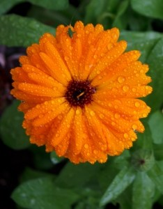 orange_daisies_image