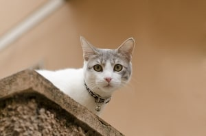 peeping-cat-over-wall-image