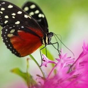 black-red-white-polka-dot-butterfly-purple-image