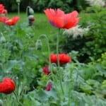 red-poppy-field-image