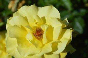 beautiful-yellow-rose-image
