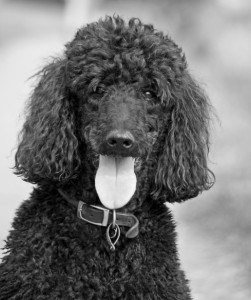 black-white-poodle-tongue-out-image