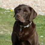 dog-black-lab-serious-look-image