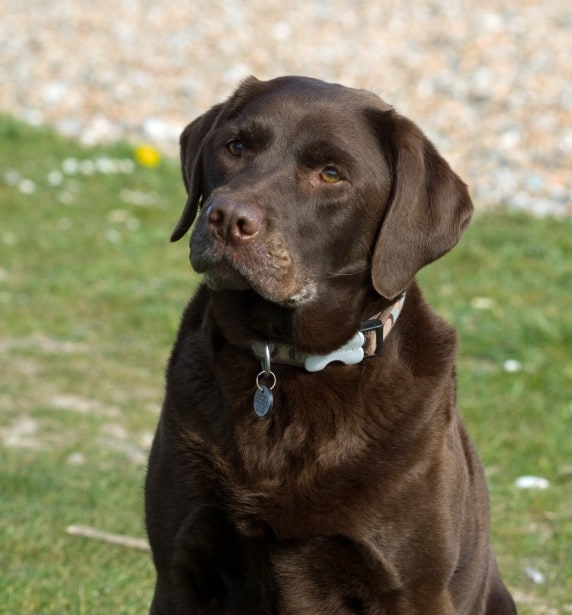 dog-black-lab-serious-look-image