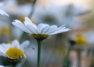 daisies-blur-image
