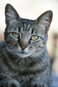 serious-green-eyed-cat-image