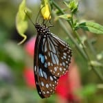 blue-black-butterfly-red-flower-image