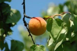 apricot-tree-blue-sky-image