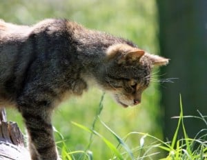 cat-looking-down-grass-image
