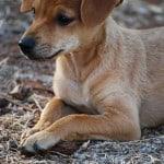 brown-pup-crossed-legs-image