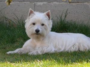 white-scotty-looking-dog-image