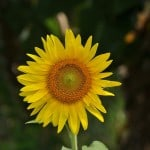 sunflower-standing-tall-image