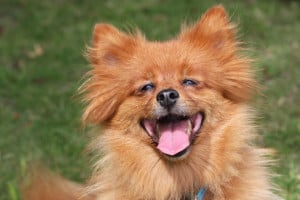 happy-red-dog-laughing-image