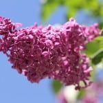 lilac-against-blue-sky-image