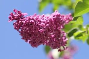lilac-against-blue-sky-image