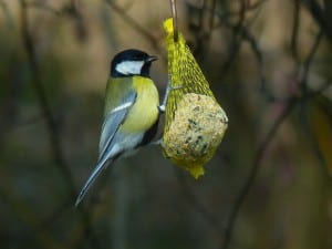 yellow-chickadee-type-bird-image