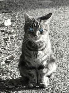 blue-eyes-black-and-white-cat-sitting-image