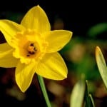 daffodil-star-image