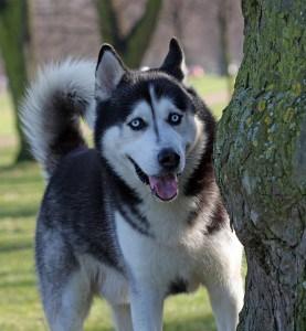 husky-tree-image