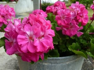 pink-geraniums-bright-pot-image