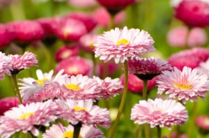 flowers-field-of-pink-image