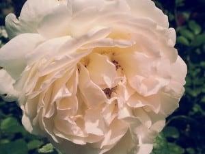 rose-167985_640