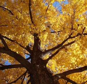 fall-yellow-leaves-treetop-image