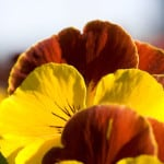 pansy-top-image