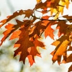 autumn-leaves-bright-orange-image
