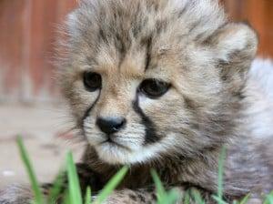 baby-cheetah-image