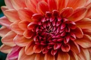 big-orange-pink-flower-detailed-image