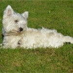 white-dog-lying-in-grass-image